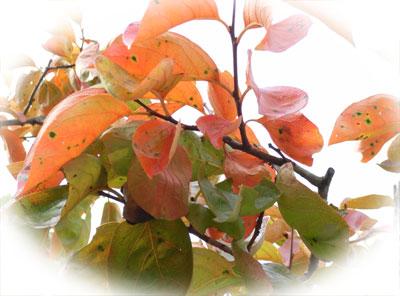 色づいた柿の葉