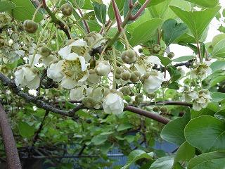 キウイのメスの花の写真